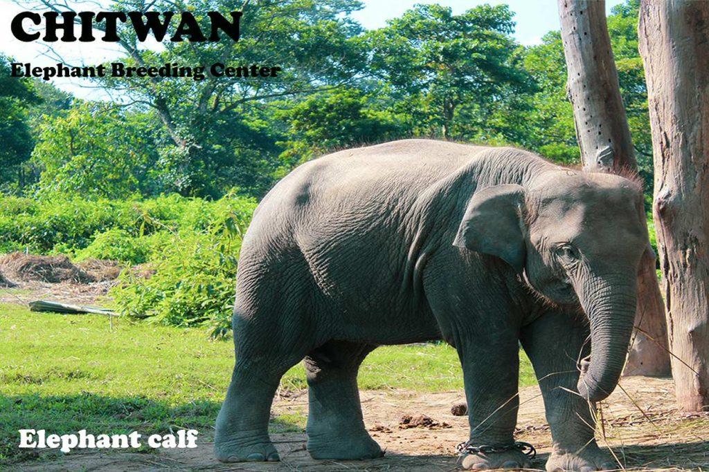 Wildlife Tour Nepal Elephant