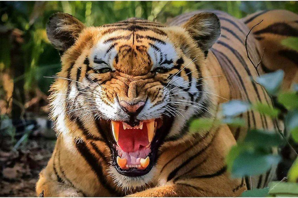 Wildlife Tour Nepal Tiger